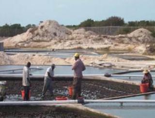préparation conch farm